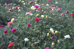 Wonderful floral glade from a purslane Royalty Free Stock Photography