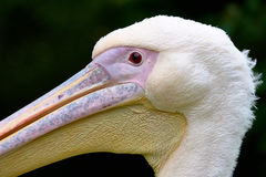 White Yellow and Pink Pelican Royalty Free Stock Photos