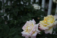 White, Yellow and Pink Roses Royalty Free Stock Images