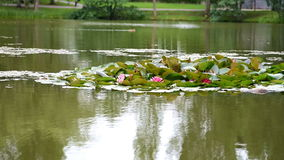 White, yellow and pink waterlilies stock video