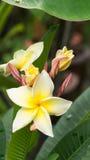 White Yellow Plumelia Flower Royalty Free Stock Photos