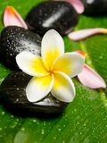 White yellow plumeria Royalty Free Stock Photography