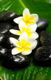 White yellow plumeria Stock Image
