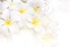 White yellow Plumeria flower abstract  soft light style on white background Stock Images