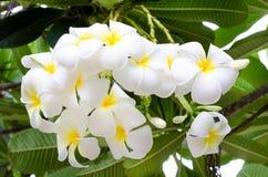 White and yellow plumeria flower Stock Photo