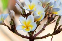 White and yellow plumeria flower Stock Photography