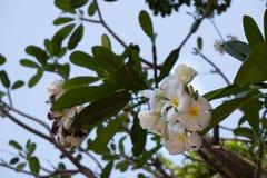 White and yellow plumeria flowers stock image