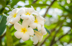 White and yellow plumeria flowers Royalty Free Stock Image