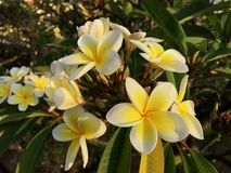 White and yellow plumeria Royalty Free Stock Photo
