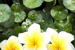White yellow plumeria or frangipani flower royalty free stock photography