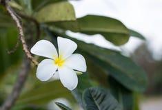 White and yellow Plumeria Royalty Free Stock Photo