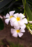 White and yellow plumeria frangipani flowers with leaves Royalty Free Stock Photo