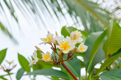 White and yellow Plumeria, Frangipani tree blooming Royalty Free Stock Images