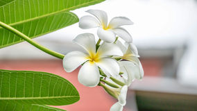 White and yellow Plumeria Royalty Free Stock Photography