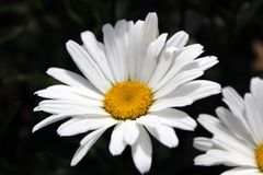 White and yellow pretty flower in spring stock photography