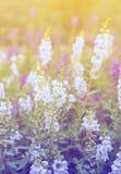 White yellow purple blue flowers salvia colorful Stock Image
