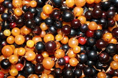 White or yellow, red, black currant 18524 Royalty Free Stock Photography