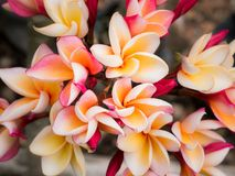 White Yellow and Red Plumeria Flowers royalty free stock image