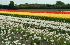 White, yellow, red Tulip fields, Lisse. White, yellow, red Tulip fields, Lisse, Netherlands. Nice Background. The beauty of the world royalty free stock photos