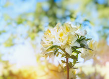 White yellow Rhododendron blooming on blurred garden background Royalty Free Stock Images