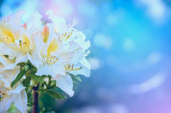 White yellow Rhododendron flowers in morning light in garden Stock Images