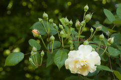 White yellow rose and buds Royalty Free Stock Photo
