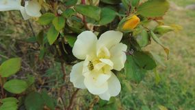 The rose bush. White and yellow rose on bush royalty free stock photography