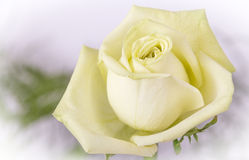 White yellow rose closeup Royalty Free Stock Photography