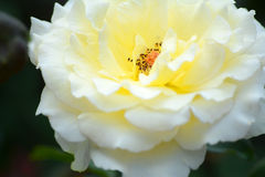 White yellow rose Royalty Free Stock Photo