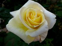 White yellow rose in garden royalty free stock photography