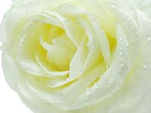 White and yellow rose in water drops Stock Photo