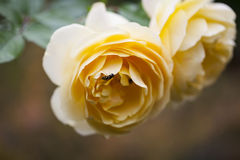 White - yellow roses and bee. Beauty and tenderness in amazing park ..love it Royalty Free Stock Images
