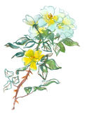 White yellow roses. Branch of white yellow roses, watercolor, drawing on paper Royalty Free Stock Images