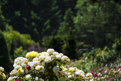 White and yellow roses in garden Royalty Free Stock Photo