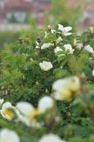 White and yellow roses. Old fashioned white roses with a yellow centre, surrounded by buds Stock Images