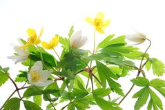 White and yellow spring anemone stock photography