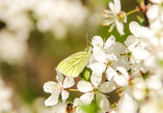 White with yellow stripes butterfly Royalty Free Stock Photography