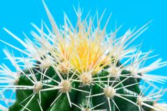 White and yellow thorns of cactus plant in macro key picture, on stock image