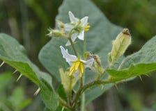 White and Yellow Thorny Michigan Wildflower Stock Image