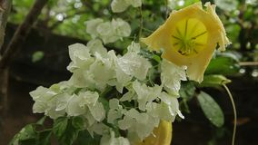 White and yellow tropical flowers after tropical rain. Tropical garden at the hotel stock video