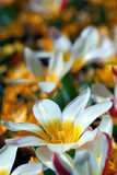 White and yellow tulip Royalty Free Stock Photography