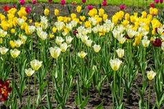 White and yellow tulip field Stock Image