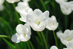 White yellow tulip flower Royalty Free Stock Images