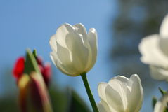 White yellow tulip flower Royalty Free Stock Image