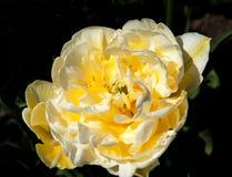 White and yellow tulip in the garden tarda Royalty Free Stock Photos