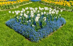 White and Yellow tulips with Alpine Forget-Me-Not Blue Flowers in spring time. White and Yellow tulips with Alpine Forget-Me-Not Blue Flowers in spring time Royalty Free Stock Photo