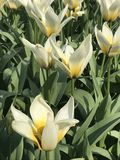 White and Yellow Tulips Sunny Spring royalty free stock photography