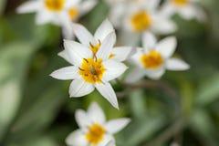 White yellow tulips Stock Photography