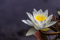 White and yellow water lily flower Royalty Free Stock Images
