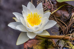 White and yellow water lily flower Stock Photo